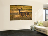 White-Tailed Deer in Autumn, South Texas, USA Wall Mural by Larry Ditto