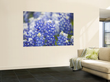 Close Up of Group of Texas Bluebonnets, Texas, USA Wall Mural by Julie Eggers