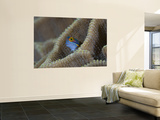 Blenny Fish Poking It's Head Out of Coral, Raja Ampat, Indonesia Wall Mural
