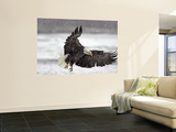 Bald Eagle Flies in Snowstorm, Chilkat Bald Eagle Preserve, Alaska, USA Wall Mural by Cathy & Gordon Illg