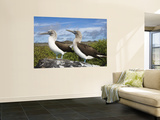Blue-Footed Booby Courtship, Punta Cevallos, Espanola Or Hood Island, Galapagos Islands, Ecuador Wall Mural by Pete Oxford