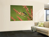 Immature Beautiful Sunbird (Cinnyris Pulchella) Feeding from Aloe Wall Mural by Ariadne Van Zandbergen