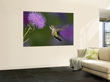 Ruby-Throated Hummingbird in Flight at Thistle Flower Muurposter van Adam Jones