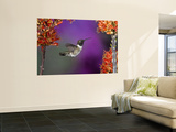 Black-Chinned Hummingbird, Arizona, USA Wall Mural by Joe & Mary Ann McDonald