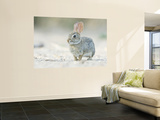 Desert Cottontail Rabbit, Rio Grande Valley, Texas, USA Wall Mural by Rob Tilley