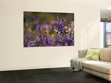Backlit Lupine Flowers, Glacier National Park, Montana, USA Wall Mural by Adam Jones
