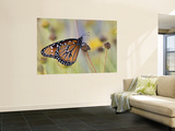Queen Butterfly Resting on Dried Flower, Texas, USA Wall Mural by Larry Ditto