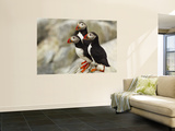 Atlantic Puffins on Machias Seal Island Off the Coast of Cutler, Maine, USA Wall Mural by Chuck Haney