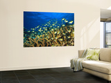 Schooling Damselfish, North Huvadhoo Atoll, Southern Maldives, Indian Ocean Wall Mural by Stuart Westmorland