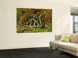 Pacman Frog Or South American Horned Frog Wall Mural by Adam Jones