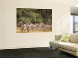 Herd of Grevy's Zebras, Shaba National Reserve, Kenya Wall Mural by Alison Jones