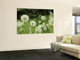 Dandelions, California, USA Wall Mural by Savanah Stewart