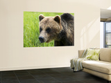 Brown Bear at Alaska Wildlife Conservation Center Wall Mural by Mark Newman