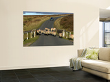 Sheep on Road, North York Moors National Park Wall Mural by Doug McKinlay