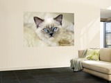 Ragdoll Kitten Wall Mural by Savanah Stewart
