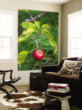 Apple Hanging from Orchard Tree, Huon Valley Wall Mural by Rachel Lewis
