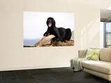 Leopard (Panthera Pardus) in Black Phase Wall Mural by Mark Newman