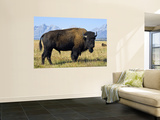 Bison Wall Mural by Douglas Steakley