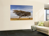 Acacia Raddiana Tree in the Negev Desert Wall Mural by Hanan Isachar