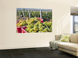 Harvesting Chardonnay Grapes in Huailai Rongchen Vineyard, Hebei Province, China Wall Mural by Janis Miglavs