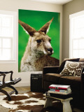 Portrait of an Eastern Grey Kangaroo Wall Mural by Daniel Boag