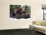 Grizzly Bears Playing in Snow on Grouse Mountain Wall Mural by Christopher Herwig
