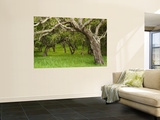 Arching Oaks in Carmel Valley Wall Mural by Douglas Steakley