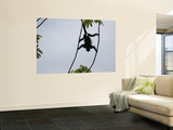 Male Mantled Howler Monkey (Alouatta Palliata) Splayed in Tree Wall Mural by Shannon Nace