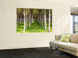 Willow Trees Being Grown for Cricket Bats Wall Mural by Oliver Strewe