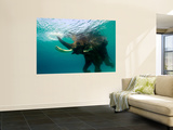 Male Indian Elephant (Elephas Maximus Indicus) Swimming Underwater Wall Mural by Astrid Schweigert