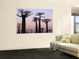 Baobab Trees (Adansonia Grandidieri Baobabs) Near Avenue Du Baobab Wall Mural by Olivier Cirendini