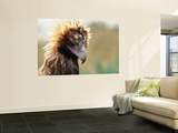 Portrait of a Young Wedge-Tailed Eagle Wall Mural by Oliver Strewe