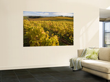 Autumn in the Tamar Valley Vineyards Wall Mural by Andrew Bain