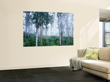 Wielangta Forest in Mist Wall Mural by Rob Blakers