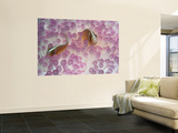 Pink Anemone Fish Wall Mural by Robert Halstead