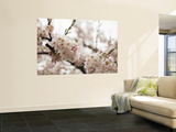 Cherry Blossums (Sakura) on Mount Hakodate Wall Mural by Shayne Hill