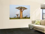 Giant Baobabs (Adansonia Grandidieri) Dotting the Countryside Near Morondava Wall Mural by Karl Lehmann