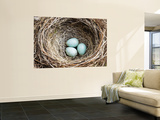 Nest and Eggs of Common Blackbird (Turdus Merula) Wall Mural by Grant Dixon