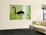 Black Swan (Cygnus Atratus) with Cygnets on a King's Park Lake Wall Mural by Greg Elms