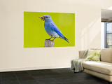 Mountain Bluebird With Caterpillars Near Kamloops, British Columbia, Canada Wall Mural by Larry Ditto