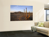 Golden Light on Organ Pipe Cactus, North of Puerto Penasco in Gran Desierto De Altar Wall Mural by Feargus Cooney