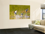 Mallard Ducks Takeoff From Whitefish Lake, Montana, USA Wall Mural by Chuck Haney