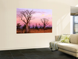 Boab Trees Wall Mural by Christopher Groenhout