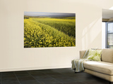Rape Crop Flowers in Springtime in Northwestern Jaen Province Wall Mural by Diego Lezama