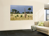 Maasai Giraffe (Giraffa Camelopardalis Tippelskirchi) Wall Mural by Ariadne Van Zandbergen