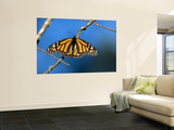 Monarch Butterfly (Danaus Plexippus) Wall Mural by Mark Newman
