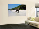 Indian Elephant (Elephas Maximus Indicus) Striding Along White Sand of Radhanagar Beach Wall Mural by Astrid Schweigert