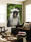 Young Zanzibar Colobus Monkey Wall Mural by Douglas Steakley