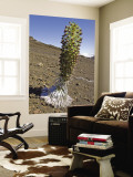 Blooming Silversword (Ahinaahina) Plant in Crater Wall Mural by John Elk III