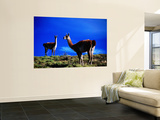 Guanacos Pausing from Grazing Wall Mural by Gareth McCormack